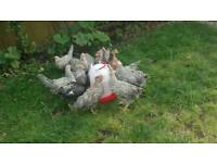 Legbar chickens for sale BUY 3 GET 1 FREE