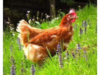 Ex battery hen community project needs mesh and wood