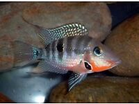 Firemouth Cichlid 5cm for sale - live tropical fish