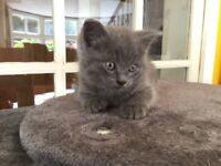 Grey Shorthair Kitten