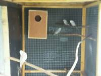 Four White Budgies for sale