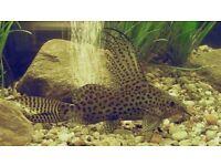 Tropical Featherfin Catfish