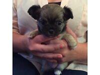 Full Chihuahua girl pup