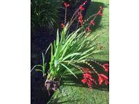 LUCIFER PLANTS FOR SALE - crocosmias