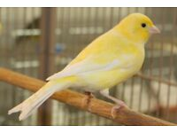 Male canaries for sale, yellow, variegated or white.