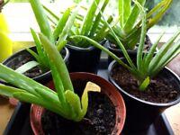 Small Aloe vera plants