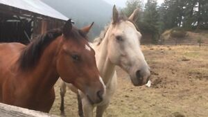 Gorgeous Blanketed Buttermilk Buckskin and Bay Yearling Filly