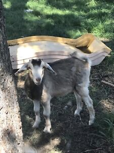 Mini goats starter herd
