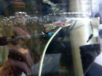Platties / Guppies / Bristlenose Plecos - Community Tropical Fish