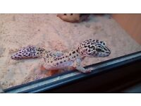 Leopard Gecko with Vivarium and