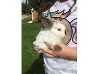 Male Netherland Dwarf Rabbit