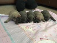 **5 beautiful kc reg French bulldog puppies**