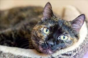 "Senior Female Cat - Domestic Short Hair: ""Lorelai"""