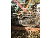 Baby rabbits ready in 2 and half weeks roughly