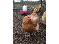 Buff Orpington hens and light sussex