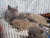 British short hair kittens gccf registered