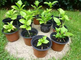 Small Hydrangeas for Sale