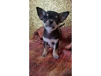 Super mini chihuahua boy