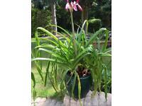 Lily in Ceramic Pot