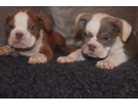 English bulldog x oldie ready to leave