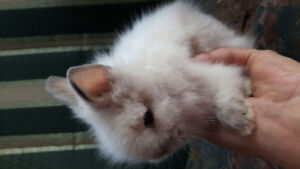 Excellent Quality lionheads, come with health check