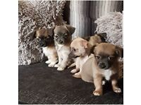 Full pedigree Chihuahua puppies