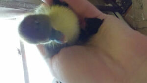 Muscovy Ducklings- LES FARMS