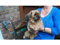 Griffon Bruxellois Red Rough 2 year old Female - Real Cutie -