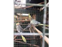 Young cockatiels for sale