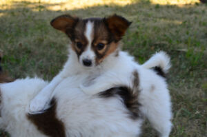 Two Female Papillon Puppies