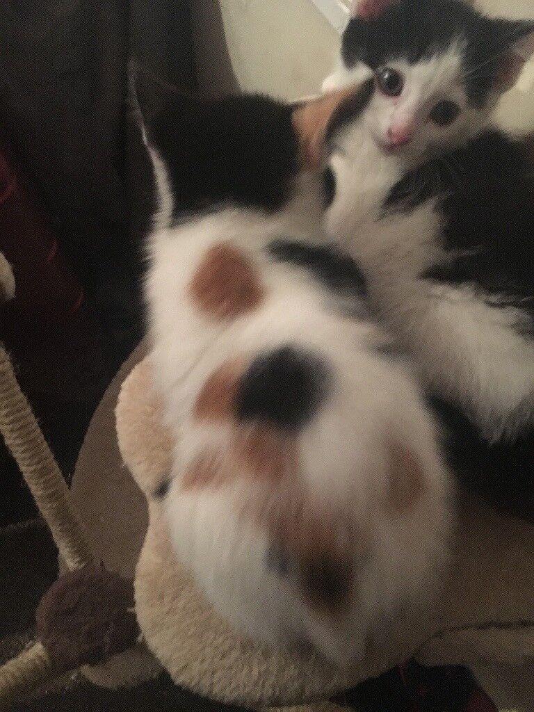 Female calico kitten for sale female
