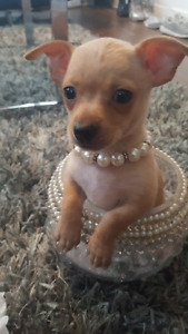 Bébé Chihuahua à vendre (2 femelles 1 mâle )