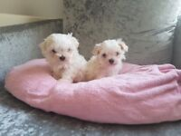 Maltese Girl Puppies For Sale
