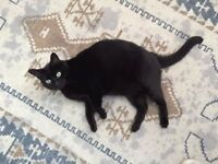 Black Cat, Male, missing Hendon NW4, £500 Reward