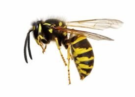 Wasp and wasp nest removal - Friendly, Local, Accredited - Same day/Next day service
