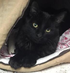 "Young Male Cat - Tabby (Black): ""Alvin"""