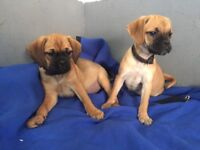 Quality puggles puppies ready now