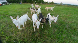 Milking goats for sale