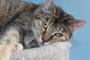 "Adult Female Cat - Tabby (Brown): ""Anabeth"""