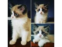 Pedigree Ragdoll kittens