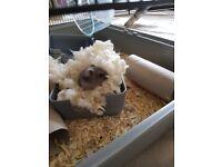 Pet hamster (dwarf) 6 months old