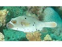 MARINE FISH / LARGE BEAUTIFUL DOFFACE PUFFERFISH