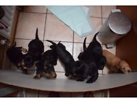 Cocker Spaniel Puppies Pure Breed Strong Pedigree