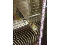 3 cockatiel birds