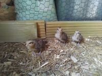 Trio of golden dutch bantams