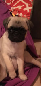 Fawn Pug Puppies $800