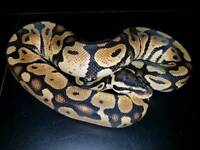 Stunning young male pastel Royal ball python / snake