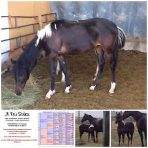 Yearling Paints For Sale