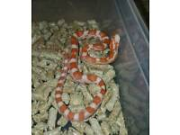 Hatchling corn snakes for sale