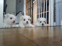 2 male and 1 female maltese puppys !!
